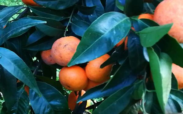 AGRUMICOLTURA – Calamità e prezzi bassi mettono in ginocchio mercato Clementine